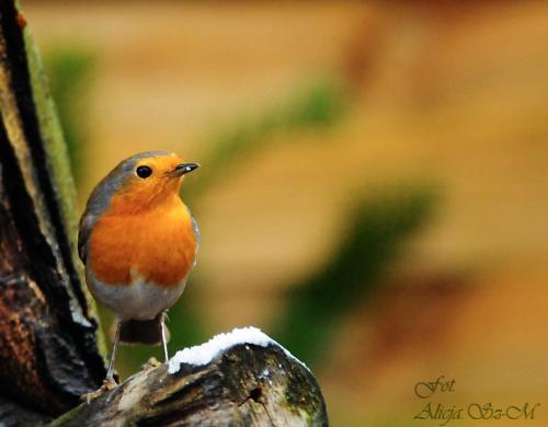 rudzik #ptaki #zima #ogrody #rudzik