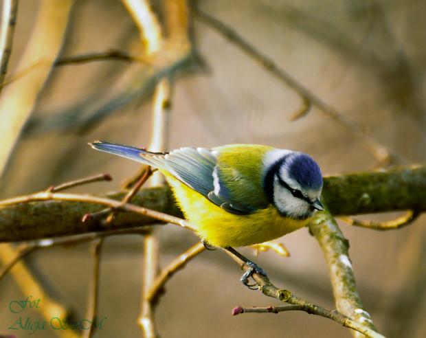 Sikorka Modraszka #ptaki #zima #ogrody #rudzik #kosy #modraszki #sikorki