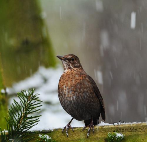 Pani kosowa. #ptaki #zima #ogrody #rudzik #kosy