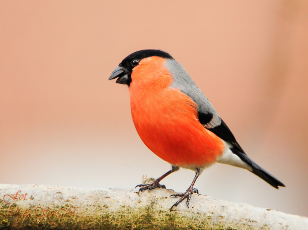 Gil,- #grubodzioby #zięby #ptaki #zima #natura #fotografia #gile #modraszki #dzwonce alicjaszrednicka-mondritzki