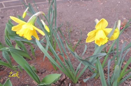 Przedwiosenne żonkile