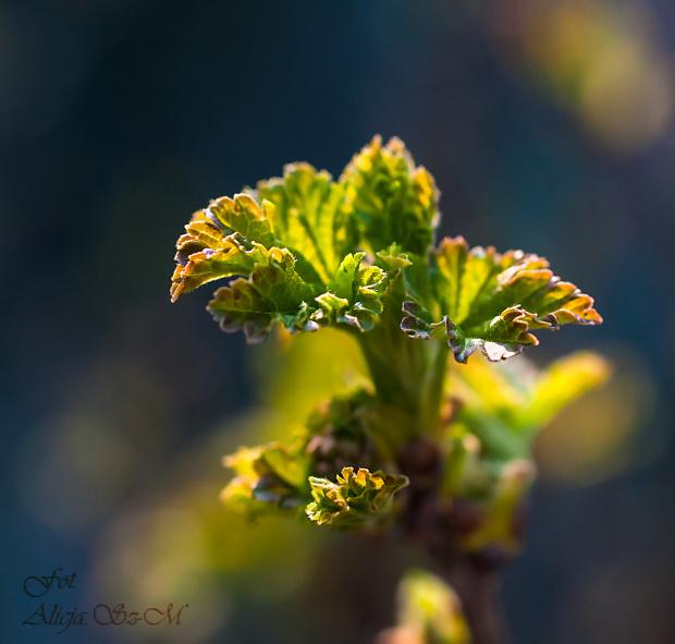 Wiosna! Krzewy Porzeczki ozyly,,, #wiosna #porzeczki #krzewy #ogrody #natura #przyroda