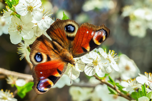 rusałka pawik na kwitnącej śliwie.:)
