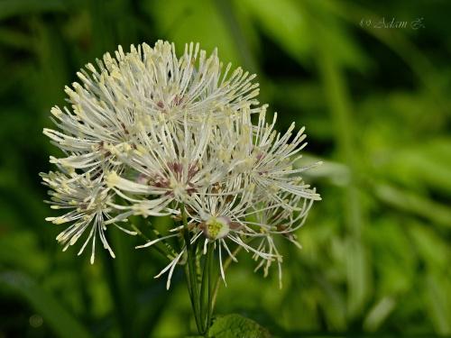 Rutewka orlikolistna / Thalictrum aquilegiifolium