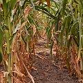 a to jest droga labiryntowa wsrod tej zagrzybionej kukurydzy jako labirynt dla dzieci do blakania sie po nim i jedzenia moze tej kukurydzy..?... #krydziane #grzyby #kukurydza #pasozyty #natura
