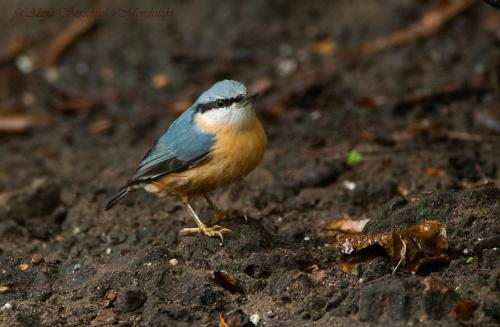 Kowalik,- #ptaki #Fink #zieby #kowalik