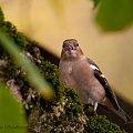 Zieba,- #ptaki #Fink #zieby #kowalik #rudzik