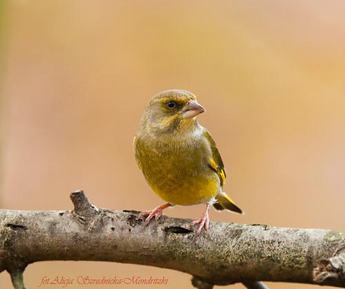 #ptaki #zieby #czyze #dzwonce #gile
