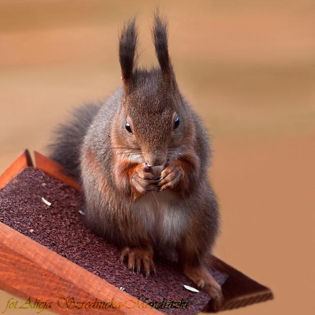 wiewiorki,- #wiewiorki #ssaki #natura #ogrody
