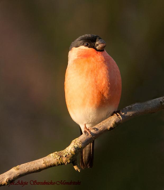 Gil.- #rudziki #ptaki #natura #gile