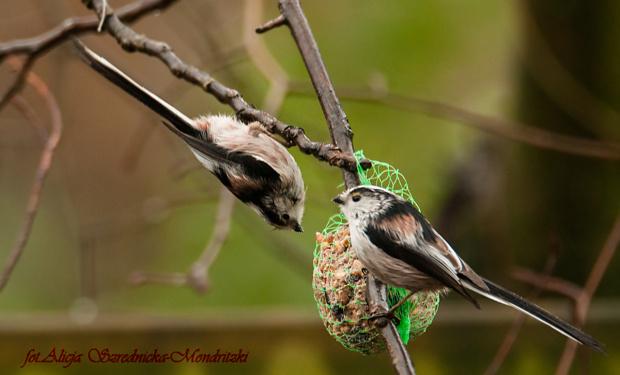 Raniuszek.- drugi raz mnie odwiedzily przez te wszystkie lata mojego fotografowania ..krociutko i niespodziewanie..:( #rudziki #ptaki #natura