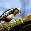 Niektóre ptaki w lesie harują a nie tylko świergolą.;)
