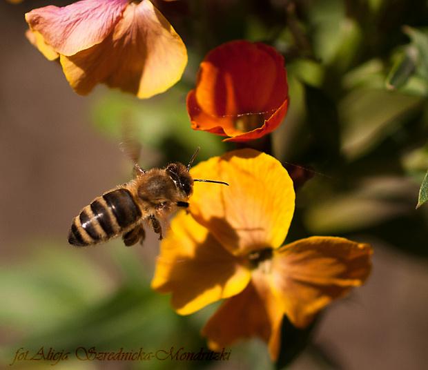 a te fruwaja bez ograniczen..:) czy ktos wie jak nazywa sie ten kwiat? #pszczoly #kwiaty #ogrody