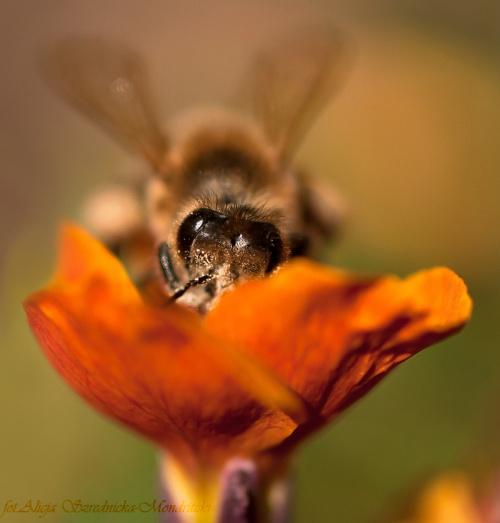 a te fruwaja bez ograniczen..:) #pszczoly #kwiaty #ogrody