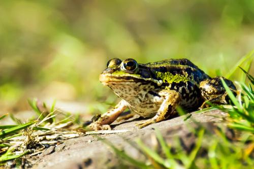 żaba.:)