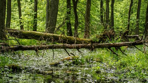 mokradła leśne są teraz piękne