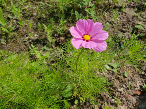 Pierwszy kwiatek na ugorze