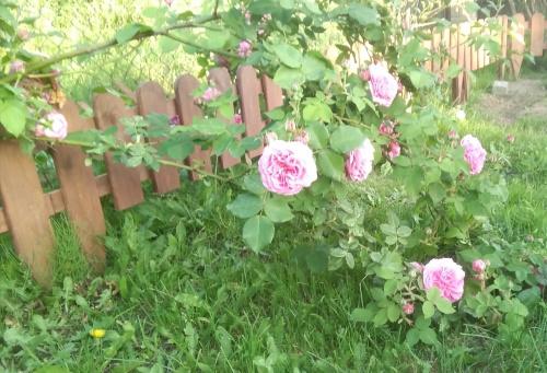 Letnie róże ogrodowe