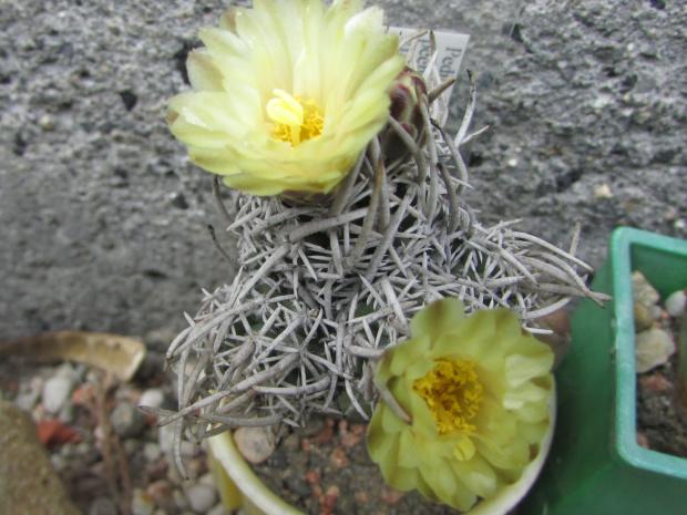 Pediocactus peeblesiana ssp. fickeiseni SB469 Grey Mts.Coconino.Co.
