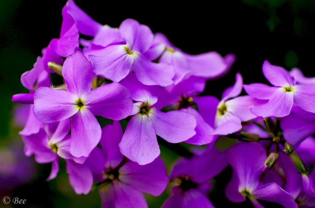 Wieczornik damski to jeden z najstarszych gatunków roślin na świecie. Prawdopodobnie pochodzi z Rzymu.