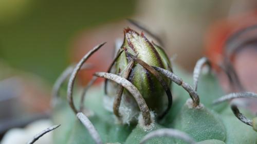 Turbinicarpus schmiedickeanus subs. klinkerianus