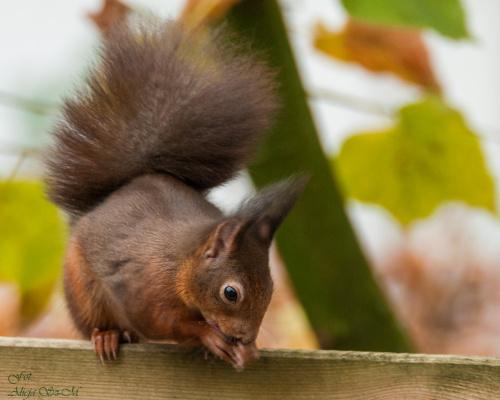 Wiewiórki juz czekaja na orzechy,dobrze wiedza ,ze tu drzewo orzechowe rosnie..,ale gdzie te orzechy ? #Wiewiórk #jesien #ogrody #zwierzeta #natura