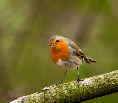 Rudzik.- #zieby #gile #ogrody #rudzik #fotografia #natura #przyroda