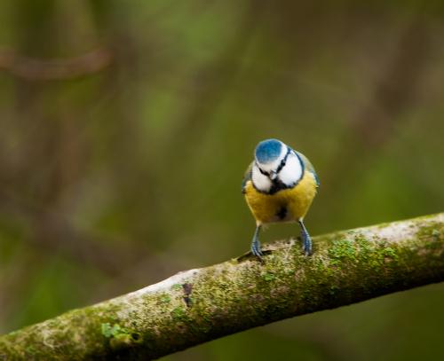 Modraszka.- #ptaki #natura #przyroda #modraszka #ogrody #zima