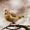 z niem:Zielona zieba,/dzwoniec/:,- #rudzik #ptaki #ogrody #kosy #zima #alicjaszrednicka #NRW